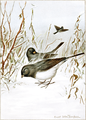 Junco-Bird-Life-0103-145.png