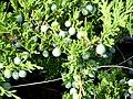 Juniperus sabina Frutos y hojas Habitus 2009-7-25 SierraNevada.jpg