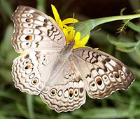 Junonia atlites up.jpg