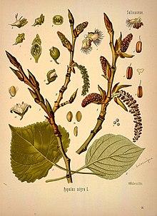 Тополь черный : лекарственное растение, применение, отзывы, полезные свойства, противопоказания, формула цветка