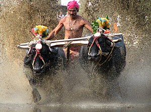 Kadri, Mangalore - Famed Kambala Race of Kadri