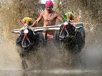 Kambala - Famed Kambala Race of Kadri, Mangalore.