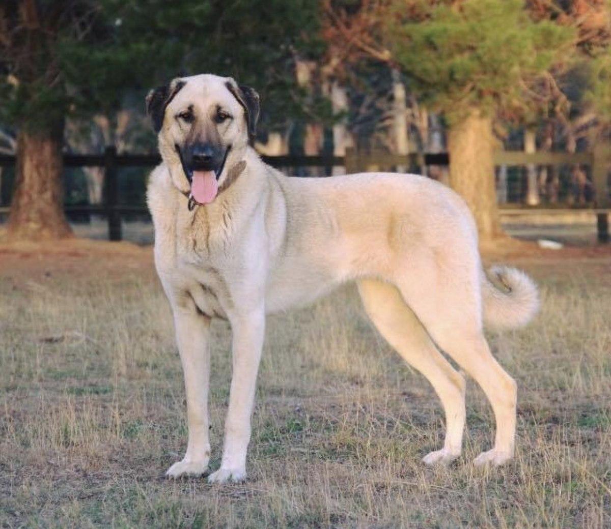 Kangal Shepherd Dog - Wikipedia