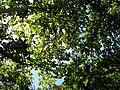 Kanopi pohon.jpg