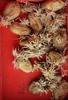 sieglinde kartoffel puffer