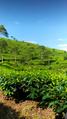 Kebun teh jolotigo.png