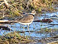 Killdeer on Seedskadee National Wildlife Refuge (26810015497).jpg