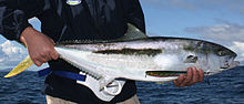 Yellowtail kingfish caught in the Hauraki Guld off Auckland, New Zealand