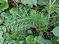 Klinkenbergerplas - Duizendblad (Achillea millefolium).jpg
