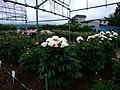Komachi Peony Root Garden (小町芍薬苑) - panoramio - Ocavis Leechroot.jpg