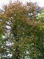 Kornik Arboretum buk zwyczajny odm czerwonolistna.jpg