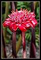 Kuranda Ginger Flower-1 (8234501640).jpg
