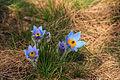 Kvetoucí koniklece v PP Kobylinec 12.jpg