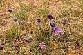 Kvetoucí koniklece v PP Kobylinec 37.jpg