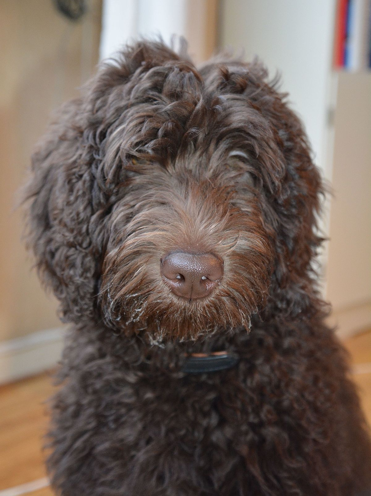 Labradoodle – Wikipedia