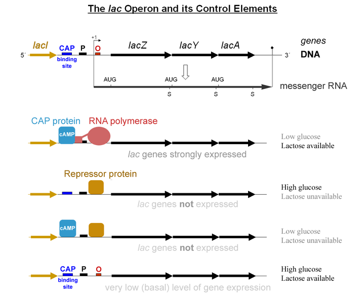 File:Lac operon-2010-21-01.png