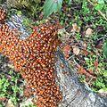 Ladybug closeup on branch.JPG