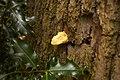 Laetiporus sulphureus (29033800884).jpg