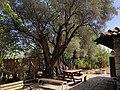 Lagina-olive-tree.jpg