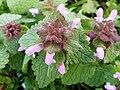Lamiales - Lamium purpureum - 7.jpg