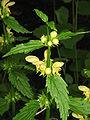 Lamium galeobdolon02.jpg