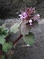 Lamium purpureum, 3030-03-09, South Side, 03.jpg
