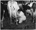Lancaster County, Pennsylvania. Milking is a family enterprise in the absence of milking machines. - NARA - 521115.tif