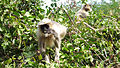 Langur Monkey2.JPG