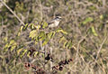 Lanius collurio - Red-backed shrike 01.jpg