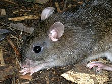 Large mindanao forest rat.jpg