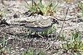 Lark Sparrow (47619725872).jpg