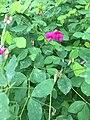 Lathyrus roseus 23305958.jpg