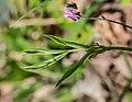 Lathyrus vernus in Aveyron (4).jpg