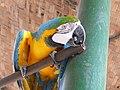 Laughing Macaw.jpg