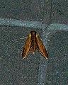 Laurel Sphinx Moth (Sphinx kalmiae) - Guelph, Ontario 2016-07-04.jpg