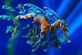 Leafy Sea Dragon 3.jpg