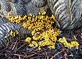 Leocarpus fragilis 30160950.jpg