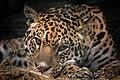 Leopard (18092407826).jpg