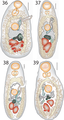 Lepotrema (Lepocreadiidae, Digenea) 11230 2018 9821 Fig36--39.png
