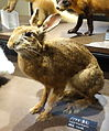 Lepus brachyurus - National Museum of Nature and Science, Tokyo - DSC07050.JPG