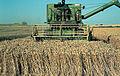 Les Plantes Cultivades. Cereals. Imatge 282.jpg