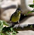 Lesser Goldfinch. (Adult Western ). Male. Carduelis psaltria - Flickr - gailhampshire.jpg