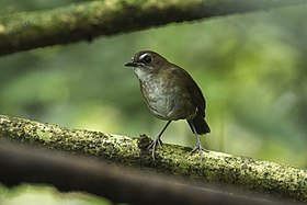 Lesser Shortwing - Gunung Gede - West Java MG 4099 (29773561756).jpg