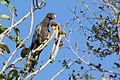 Lesser vasa parrot coracopsis nigra.jpg