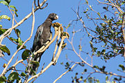 A brown parrot with blue-tipped wings