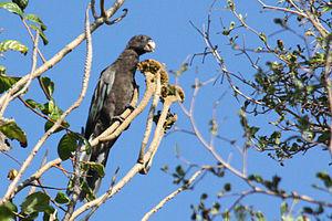 Lesser vasa parrot - Coracopsis nigra in Anjajavy Forest, Madagascar