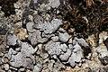 Lichen (30328346918).jpg