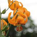 Lilium columbianum-IMG 4308.jpg