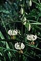 Lilium martagon b.jpg