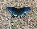 Limenitis arthemis astyanax in Hot Springs National Park.jpg
